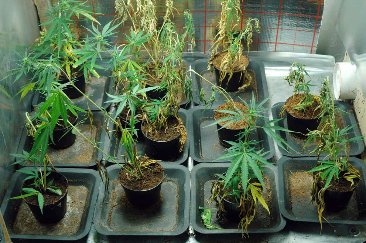 Photo of Capaccio, coltivava cannabis a casa: arrestato 23enne