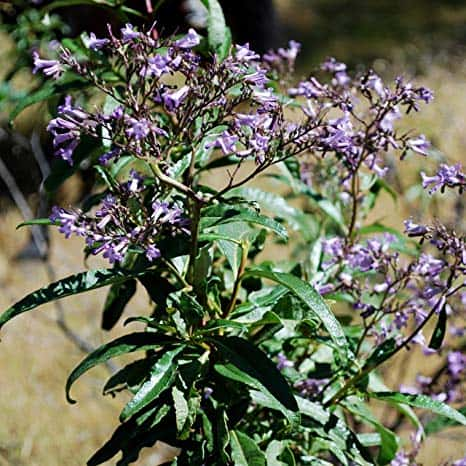 "Photo of ""Yerba Santa"": una medicina naturale contro l'Alzheimer"