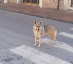 felitto-video-cuccioli-lupo