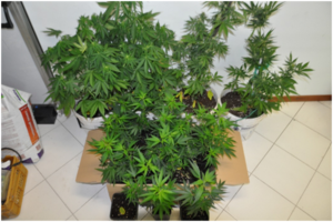 marijuana-officina-abusica-cava-tirreni-arrest-6-giugno